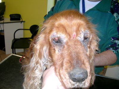 gale chien contagieux humain