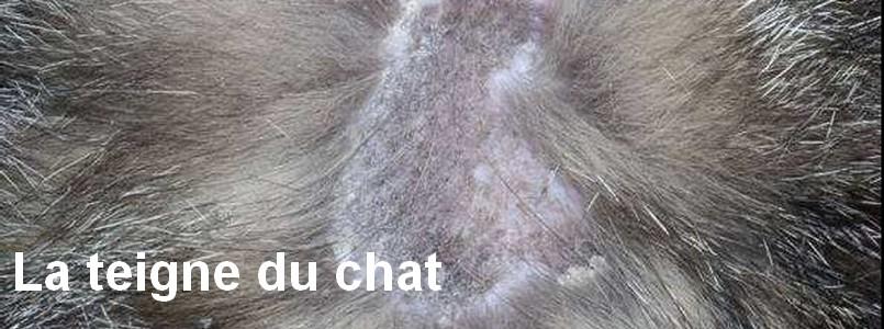 La teigne du chat - Perte de poils chez le chat ...